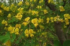 Hippocrepis emerus (aniko e) Tags: shrub plant yellow flower fabaceae hippocrepis hippocrepisemerus senna scorpionsenna strauchkronwicke koronafürt bokroskoronafürt balatonfüred balatonfelvidékinemzetipark bfpn balatonfelvidék tamáshegy forest chalk balatonuplandsnationalpark