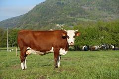 Abondance cattle @ Hike to Mont Orchez (*_*) Tags: spring printemps 2019 may morning matin europe france hautesavoie 74 hiking mountain montagne nature randonnee walk marche animal cow vache montorchez chablais
