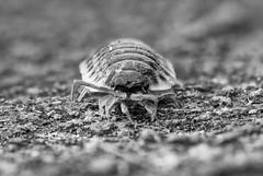woodlice_DxO- on1 (douglasjarvis995) Tags: woodlouce woodlice crustacean bug insect macro close pentax k1 100mm woodlouse