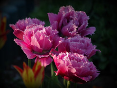 IMGP8216 (PahaKoz) Tags: весна сад цветение цветы тюльпаны spring garden blossom bloom blossoming tulips махровый terry