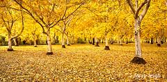 Late Walnut Orchard (smurphy49) Tags: walnutorchard walnuttrees walnuts autumn fall leaves ordferryroad sacramentoriver buttecounty california chico larryleigh unitedstates