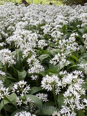 Wild garlic, Allium ursinum (5) (Geckoo76) Tags: wildgarlic alliumursinum ramsons