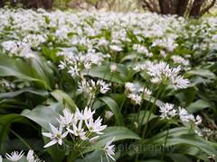 Wild garlic, Allium ursinum (3) (Geckoo76) Tags: wildgarlic alliumursinum ramsons