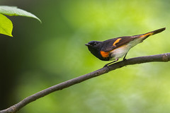 American Redstart (PhillymanPete) Tags: setophagaruticilla songbird wildlife americanredstart forest bird woods perch spring migration warbler woodwarbler nature nikon d500