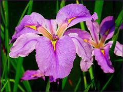 'Flamboyance' (Mary Faith.) Tags: iris flower purple nature macro leaves chengdu china park