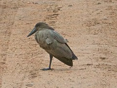 500_3748 (Bird Brian) Tags: hamerkop