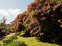 mull of galloway logan botanic garden-4131539 (E.........'s Diary) Tags: eddie ross olympus omd em5 mark ii spring 2019 logan botanic garden mull galloway dumfries
