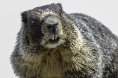 Carson Pass marmot (trifeman) Tags: 2019 spring may california canon 7d canon7dmarkii alpine sierra sierranevada alpinecounty yellowbelliedmarmot marmot silverlake tamron tamron150600mm tamronsp150600mmf563divcusda011 usfs enf eldorado