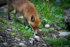 Fox searching for food (Toruko Photography) Tags: a7rii close face flowers fox goldau grass nature redfox sniffing sony stones switzerland wild