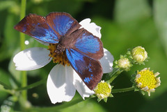 Brilliant-Blue (peterkelly) Tags: digital canon 6d chiapas palenquenationalpark palenque butterfly brilliantblueskipper pachesloxus northamerica gadventures mayandiscovery mexico blue flower