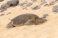 Green Sea Turtle Portrait 2 (dmills727) Tags: explored turtle herp reptile hawaii hookipabeachpark maui