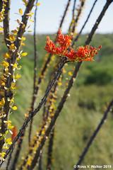 Ocotillo Blossom (walkerross42) Tags: ocotillo shrub flower wildflower canes spines desert saguaronationalpark rincon arizona tucson