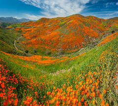 Huge Multishot Panorama Stitched in Lightroom! Walker Canyon Trail Lake Elsinore Poppy Fields Poppy Reserve Spring Poppy Apocalypse! Sony A7RII Sony FE 16-35mm f/2.8 GM Lens Gmaster Lens! California Poppies Orange Wildflowers Superbloom Fine Art Photos! (45SURF Hero's Odyssey Mythology Landscapes & Godde) Tags: walker canyon trail lake elsinore poppy fields reserve spring apocalypse sony a7rii fe 1635mm f28 gm lens gmaster california poppies orange wildflowers superbloom fine art photography elliot mcgucken landscape nature