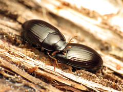 Shiny Teneb (treegrow) Tags: rockcreekpark washingtondc nature lifeonearth raynoxdcr250 arthropoda insect beetle coleoptera tenebrionidae platydema