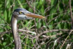 Just Another Stick (jah32) Tags: birds bird birdwatcher feathers waterworkspark stthomasontario canada wildlife nature nikon 200500mm56 greatblueheron heron
