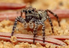 Jumping Spider (F.Hendre) Tags: jumpingspider hypositticuspubescens spider arachnid britishspider macro