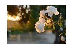 White rose garden (balu51) Tags: morgen morgenspaziergang rosengarten rose weiss spanien andalusien april 2019 copyrightbybalu51