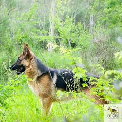 German shepherd (Allevamento Casa Caligiani) Tags: pastoretedesco dog germanshepherd cane schäferhund gsd