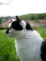 Regard attentif (ch_martiin) Tags: chat attentif chasse nature portrait animal cat regard yeux