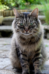 IntenseCat (Lysualise) Tags: cat kitty longhaired animals animal amateur canon garden gorgeous beautiful adorable lovely smoosh