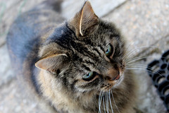 Cat: The Threequel (Lysualise) Tags: cat kitty longhaired animals animal amateur canon garden gorgeous beautiful adorable lovely smoosh