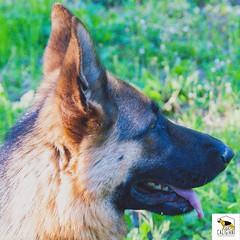 sky (Allevamento Casa Caligiani) Tags: schäferhund germanshepherd pastoretedesco cane dog gsd