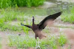 _5ND8052_LR_LOGO (Ray 'Wolverine' Li) Tags: hongkong bird birding birdwatch asia nature wildlife plegadisfalcinellus threskiornithidae pelecaniformes plegadis brauner sichler ibis