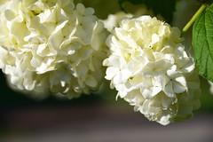Boule de neige (Croc'odile67) Tags: nikon d3300 sigma contemporary 18200dcoshsmc fleurs flowers nature