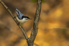 White Breasted Nuthatch.... (Kevin Povenz Thanks for all the views and comments) Tags: 2019 may kevinpovenz westmichigan michigan ottawa ottawacounty ottawacountyparks outdoors outside grandriverpark bird woodpecker whitebreastednuthatch tree nature wildlife canon7dmarkii sigma150600 yellow blue early earlymorning