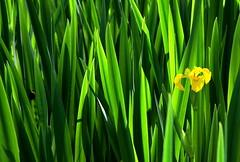 Single yellow Iris (John (Thank you for >2 million views)) Tags: reeds iris leighwoods nationaltrust naturereserve wildlifephotography northsomerset bristol fullofcolour green crazytuesdaytheme catchycolours