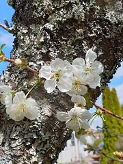 Getting there (nikkorglass) Tags: morell galaxy s9 mobilephone home hemma flower blomma vår spring vackert beautiful samsung