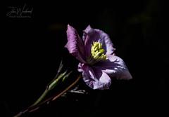Clematis (John Woodward Photography) Tags: clematis flower garden gardens gardenflower nature natureatitsbest mothernature canon canondslr canoneos canonllenses canon5dmarkiv llenses