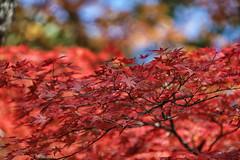 Autumn leaves (crafty1tutu (Ann)) Tags: autumn autumncolour beautiful autumnleaves red canon1dx canon28300lserieslens anncameron crafty1tutu naturethroughthelens