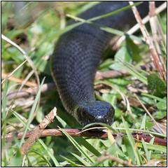 Black Adder (image 1 of 3) (Full Moon Images) Tags: minsmere rspb wildlife nature reserve reptile black adder snake