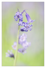 Bluebell (Unintended_Keith) Tags: bluebell flower dreamy depthoffield shallow purple green canon1dx sigma180mmf28apomacroexdgoshsm