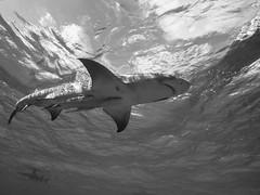 In The Shallows (altsaint) Tags: 714mm bahamas gf1 lemonshark panasonic monochrome shark underwater wideangle