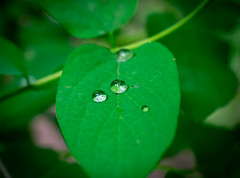 DSC_0059 (Helge6path) Tags: leaf leaves drops raindrops macro closeup photography nature forest spring green beginner hobby d3400