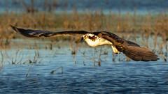 Osprey Hawk (Gary R Rogers) Tags: male closeup hawk bird fishhawk lake oregon osprey flight