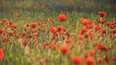Sunrise Red Pollution #1 (ruben garrido lopez) Tags: amapola poppy red redpollution amanecer sunrise flores flowers primavera spring nikon nikond5200 sansebastiandelosreyes nature naturaleza