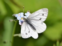Small White Butterfly (doranstacey) Tags: nature wildlife insects butterfly butterflies small white lathkill dale derbyshire dales peak district tamron 150600mm nikon d5300 macro flowers forgetmenots