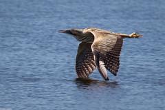 Low Flying Bittern (PedroLanders) Tags: street hamwall rspb somerset bird