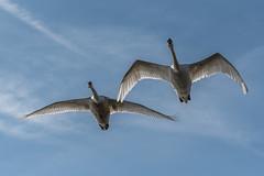 Plau am See (Stefan Giese) Tags: nikon d750 mecklenburgvorpommern mecklenburg deutschland tiere animal bird birds schwan schwäne swan germany