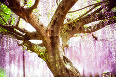 Old Wisteria Tree Old Trunk (moaan) Tags: tamba hyogo japan tree oldtree oldwisteriatree treetrunk branch flower flowering flora wisteriaflower color richlycolored purple focusonforeground selectivefocus dof leica leicamp type240 noctilux 50mm f10 noctilux50mmf10 leicanoctilux50mmf10 utata 2019