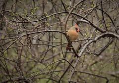 Female Cardinal High Park (Kate Blackport) Tags: highpark highparktoronto cardinal femalecardinal