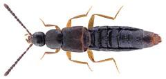 Dilacra luteipes (Erichson, 1837) Syn.: Atheta (Dilacra) luteipes (Erichson, 1837) (urjsa) Tags: coleoptera kaefer käfer beetle insect staphylinidae dilacra luteipes dilacraluteipes helvetia schweiz europa europe taxonomy:binomial=dilacraluteipes taxonomy:order=coleoptera taxonomy:family=staphylinidae taxonomy:genus=dilacra taxonomy:species=luteipes geo:country=switzerland coleopteraus insekt