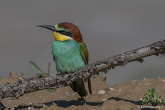Merops apiaster. (Ciminus) Tags: europeanbeeeater naturesubjects aves ornitology nature ciminus birds ciminodelbufalo gruccione wildlife oiseaux nikond500 meropsapiaster afsnikkor500mmf4gedvrii uccelli ornitologia