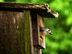 """""""Female Tufted Titmouse"""" (rdwaters) Tags: knoxvilletn female tuftedtitmouse d3400 nikon"""