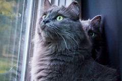Watchful Brothers (catandtonic) Tags: calgary shiro sora animals animal pets pet cat cats