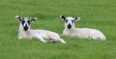 Twin Lambs Resting (jdathebowler Thanks for 4 Million + views.) Tags: lambs farmanimals farmland farming livestock countryside countryscene countrysideview countrysidescene ruralsetting ruralscene