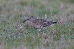 Whimbrel (cooky1959) Tags: whimbrel passage waders cleymarshes norfolk nwt